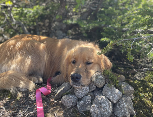 Luna resting in the shade at the South Kinsman summit, seen while hiking North and South Kinsman in the White Mountains, New Hampshire